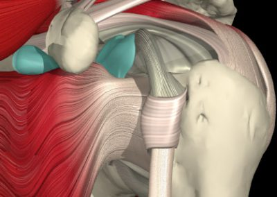 FRONT ANATOMY OF THE SHOULDER