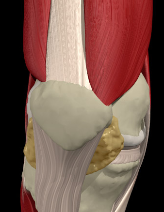 PATELLA TENDONS FAT PAD